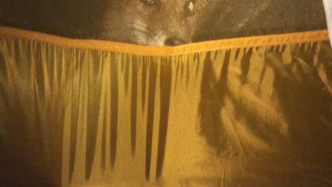 Hartnäckiger Belagerer: In Rohr will ein frecher Fuchs zu Vater und Sohn ins Zelt