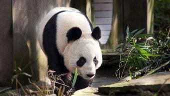 Auch Tian Tian wird im Zoo von Edinburgh leben (Archiv)