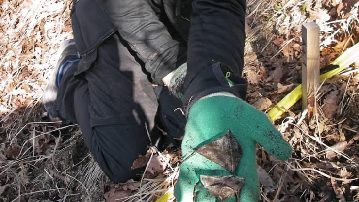 Die ersten im Boden vergrabenen Teebeutel werden nach drei Monaten sorgfältig geborgen und danach im Labor analysiert. Weitere Teebeutel bleiben noch bis zu 36 Monate im Boden.