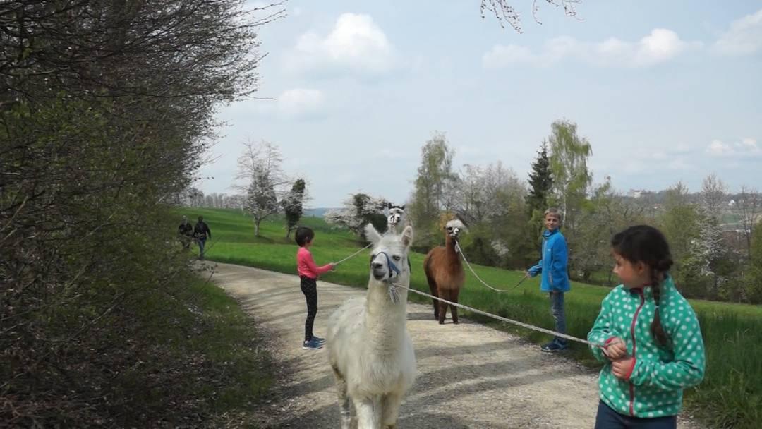 Ferienpass Brugg: Vom Alpaka-Spaziergang zur Alpaka-Wolle