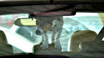 Hündchen ungesichert im Auto kommt die Fahrerin teuer zu stehen (Symbolbild).