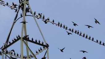 Strommasten sind für viele Vögel eine Todesfalle. Der Bund will nun Massnahmen ergreifen, um das Risiko für Stromschläge zu minimieren. (Archivbild)