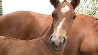 Erst wenige Wochen alt und schon gibt es erste «Lektionen»: Hengst Safir startet in das Leben eines Reitpferdes.