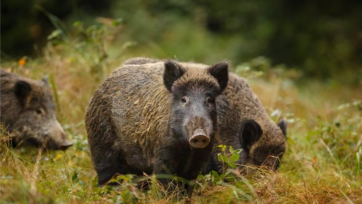 Jäger können seit Anfang Jahr eine Bewilligung für Nachtzielgeräte beantragen, um Wildschweine auf offenem Feld zu jagen. Shutterstock