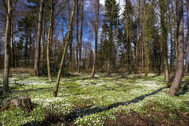 Bettseicherli beherrschen den Guggenbühl Wald ob Dietikon