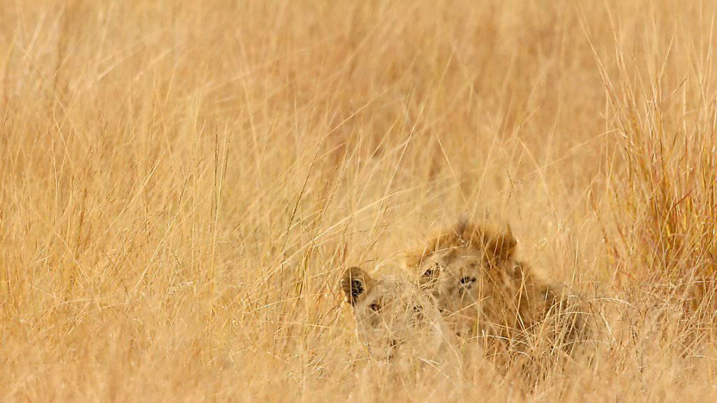 Löwenrudel in Südafrika aus Nationalpark entkommen