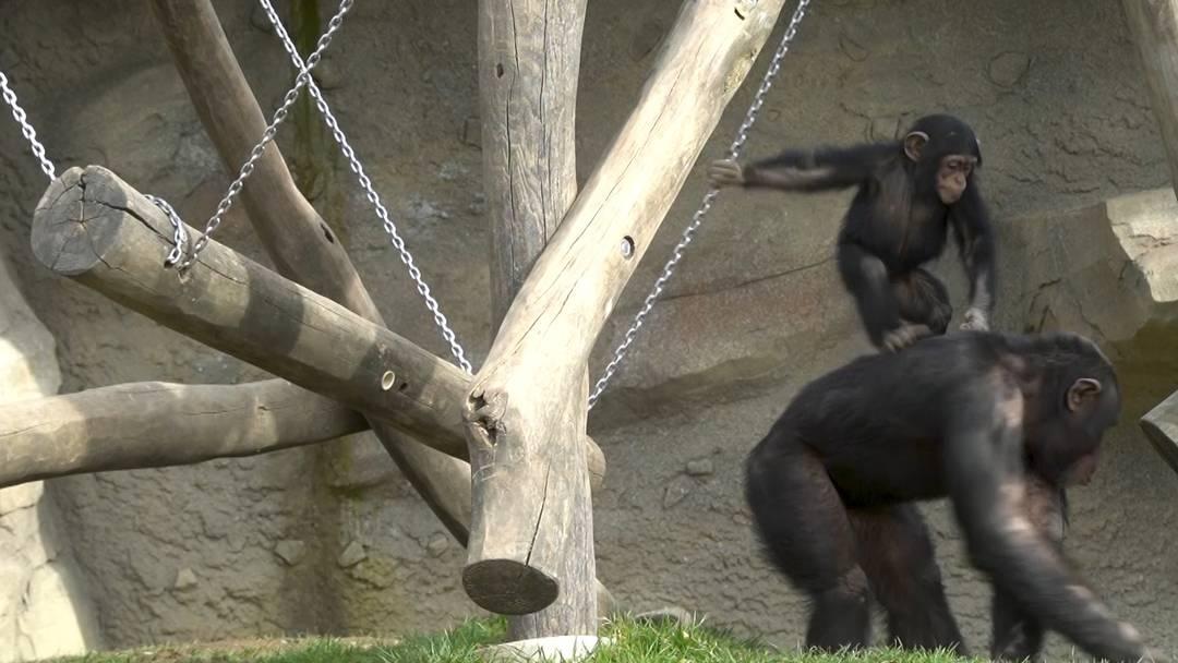 Aufsteller des Tages: Während fast niemand zuschaut, haben zwei kleine Schimpansen nur Seich im Kopf