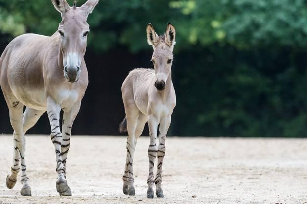 Der Zoo Basel hält seit 1970 Somali Wildesel.
