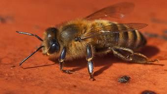 Bienen können Menschen ganz schön erschrecken (Symbolbild)
