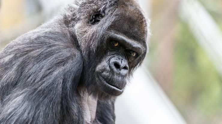 Sie wurde 58 Jahre alt: Gorilla-Dame Goma ist gestorben