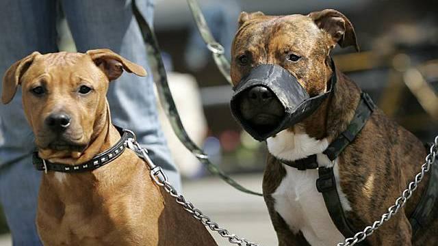 Kampfhunde-Problematik vor Bundesgericht
