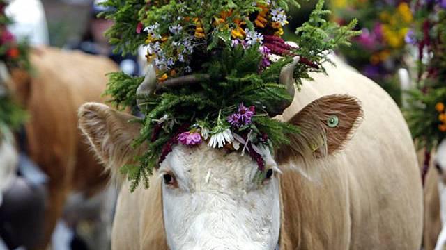 Älpler haben immer weniger Vieh: Eine geschmückte Kuh beim Alpabzug in Lenk im Simmental