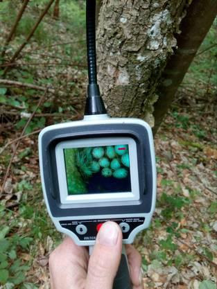 Dank Endoskop zu sehen: Das Weidenmeisen-Gelege in der selber gezimmerten Höhle: