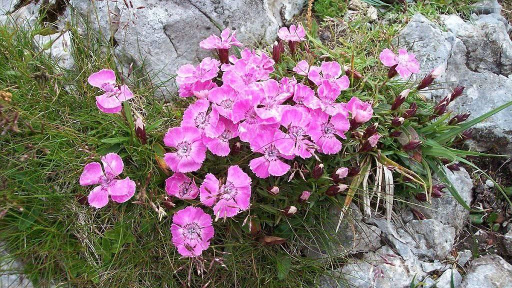 Die Alpen-Nelke hat wie auch andere alpine Pflanzenarten das Problem, dass sie mit den Veränderungen durch den Klimawandel nicht Schritt halten kann.