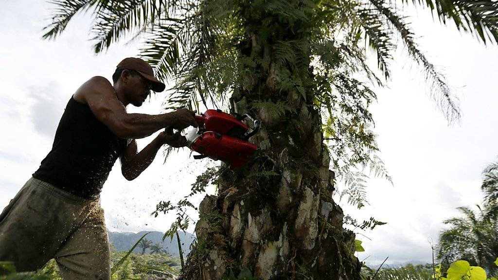 Eine illegale Palmölplantage in Indonesien wird abgeholzt. (Archivbild)