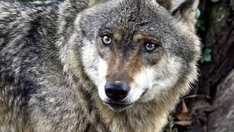 Pflanzen mit Wolfsnamen drücken oft Angst aus