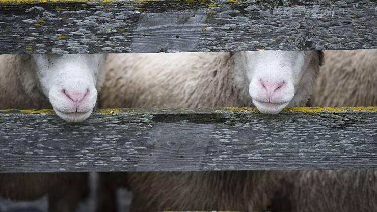 Wahrscheinlich Kadaver im Futter: Im Thurgau sind 200 Schafe verendet. (Symbolbild)