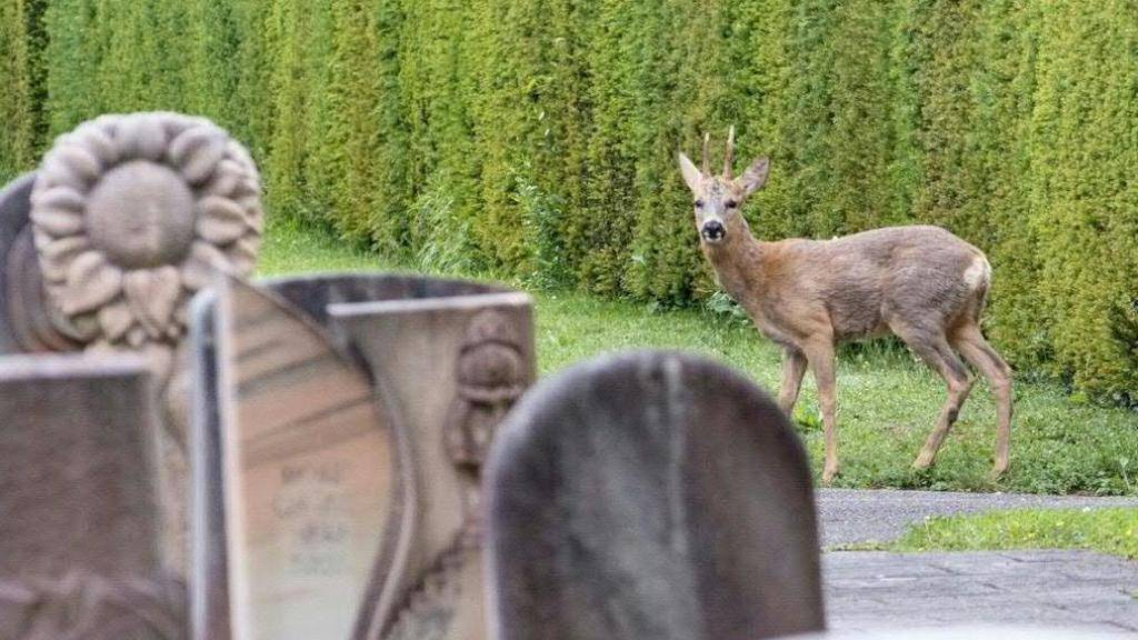 Rehe in Basler Hörnli-Friedhof vorerst nicht bedroht