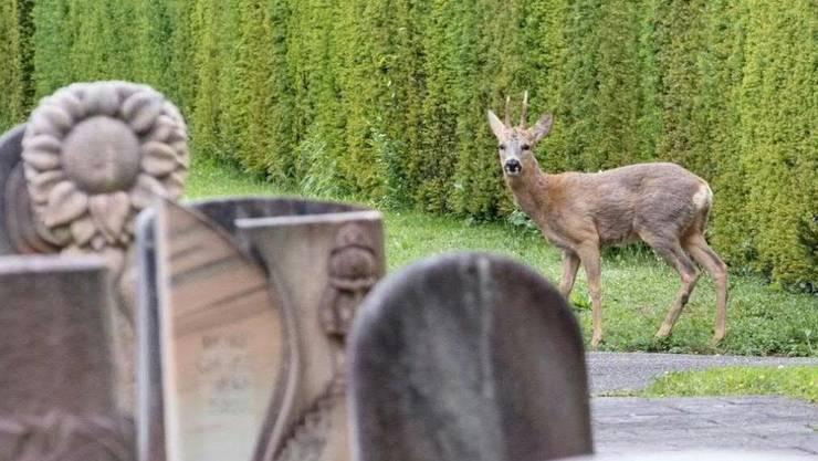 Ein Reh auf dem Basler Friedhof Hörnli. Weil ihr Bestand zu gross geworden sein soll, ist der Abschuss einzelner Rehe geplant