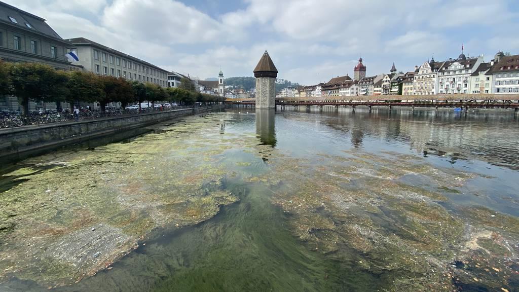 Algenteppich in der Reuss erstaunt Luzerner