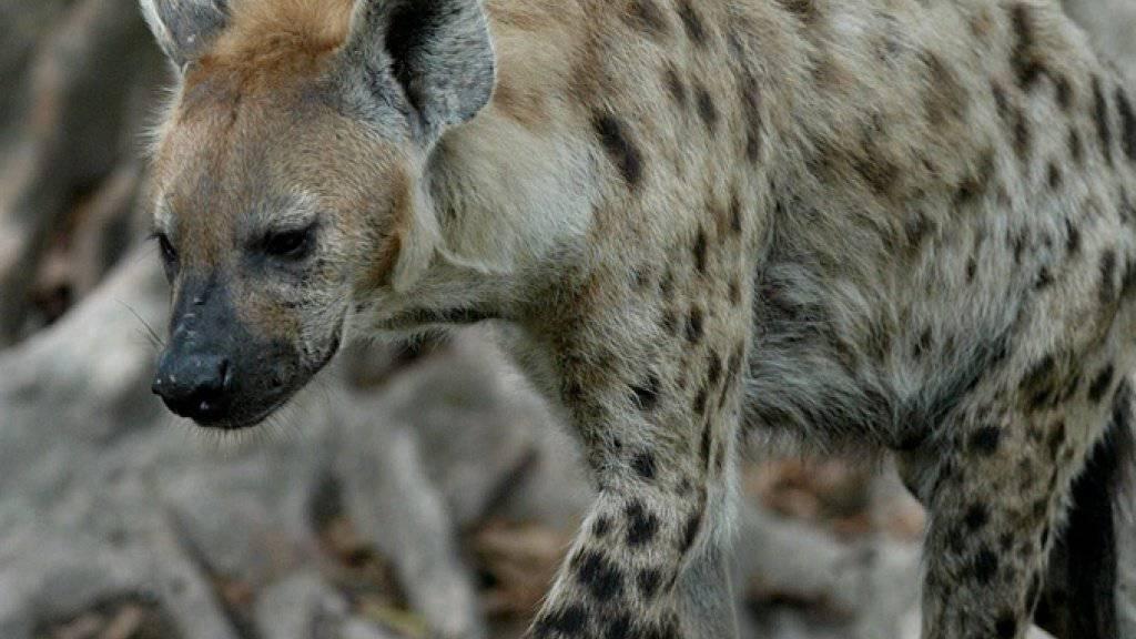Hyäne auf der Pirsch. (Symbolbild)