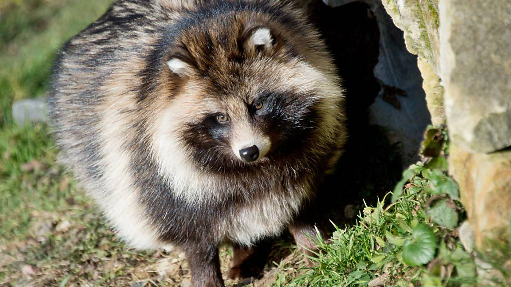 Sein Pelz muss oft als Kapuzenrand herhalten: Der Marderhund. (Archivbild)