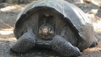 Die Riesenschildkröten auf den Galapagos-Inseln sind vom Aussterben bedroht. (Archivbild)