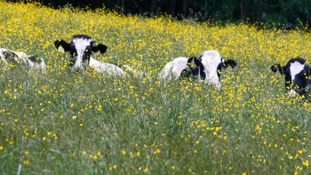 Alternativmedizin fürs Vieh: Ende Mai können angehende Schweizer Tierärzte im Kanton Freiburg einen Kurs in Kuh-Akupunktur besuchen. (Symbolbild)