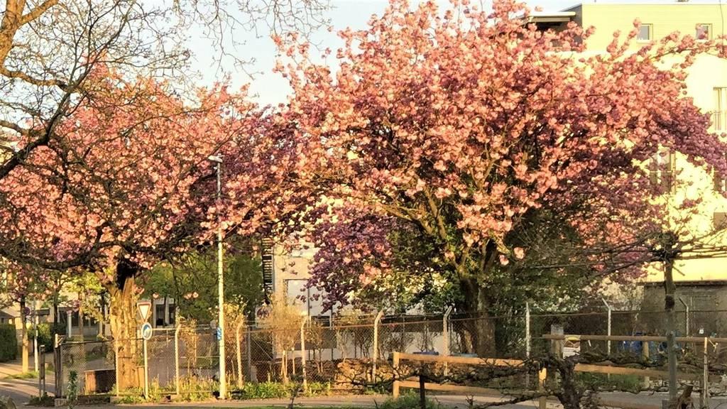 Japanische Zierkirschbäume fallen Bauprojekt zum Opfer