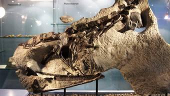 Die versteinerten Knochen des Fricker Raubsauriers