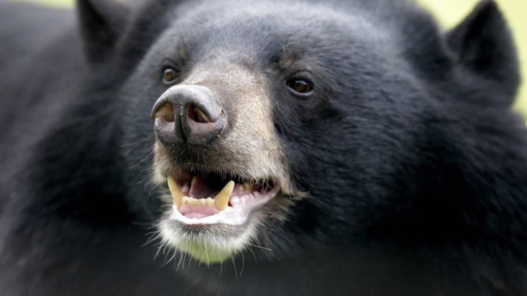 Der Schwarzbär fiel den Mann ohne Vorwarnung an. (Symbolbild)