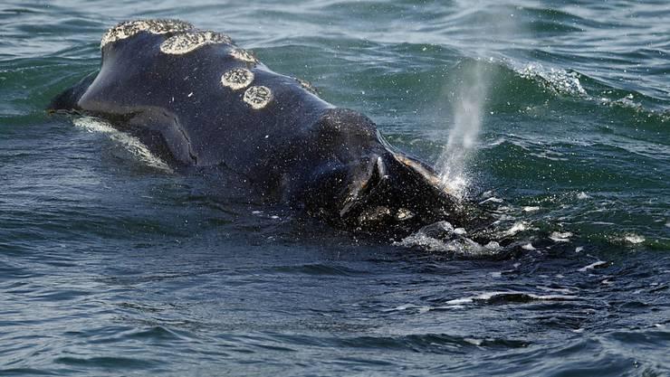 Eine Atlantische Nordkaper vor der Küste von Plymouth, Massachusetts - die Wal-Art ist stark vom Aussterben bedroht. (Archiv)