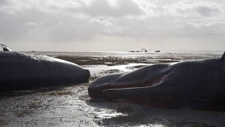 An der Küste Indonesiens soll ein toter Wal mit knapp sechs Kilogramm Plastik im Magen angespült worden sein. (Archiv)