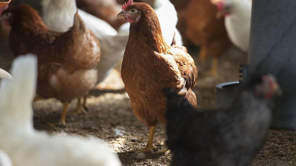 Gross wie eine Baumnuss ist das Hirn von Haushühnern - doch unterschätzen sollte man es nicht. (Themenbild)