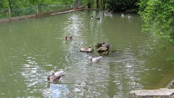 Roggenhausen: Der Entenweiher im Wildpark soll mithilfe der Aarauer Ortsbürger saniert werden. (Marcel Siegrist)