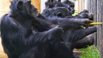 Drei Schimpansen ziehen an dem Versuchsapparat, um Obst zu erhalten, während zwei Artgenossen zusehen.