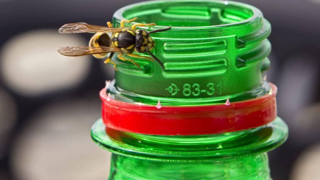 Auch schwache Wespenköniginnen überleben: Es droht eine Wespenplage.