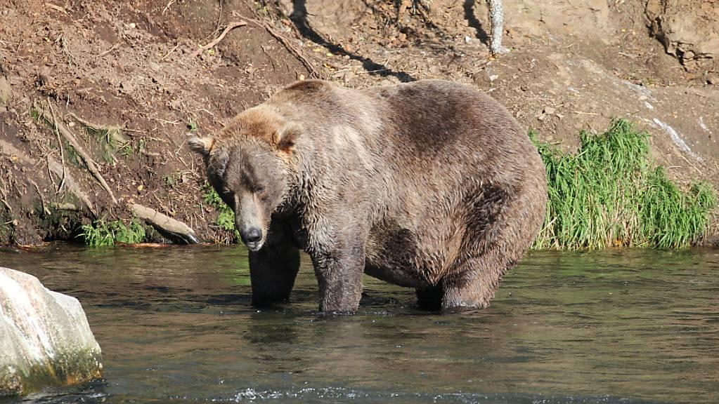 HANDOUT - Braunbär Otis steht in einem Fluss. (Aufnahme vom 16. September 2021). «Otis» setzte sich bei der Kür zum fettesten Pelztier des Katmai-Nationalparks durch. Seit einer Woche waren zwölf Braunbären im Rennen um den kuriosen Titel. Online stimmten mehr als 793 000 Menschen aus aller Welt ab. Foto: --/Katmai Nationalpark/dpa - ACHTUNG: Nur zur redaktionellen Verwendung im Zusammenhang mit einer Berichterstattung über die Fat Bear Wahlen in Alaska und nur mit vollständiger Nennung des vorstehenden Credits