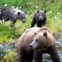 Weibliche Braunbären haben laut einer Studie gemerkt, dass sie sich in Gesellschaft ihrer Jungen vor den Jägern schützen können. (Archiv)