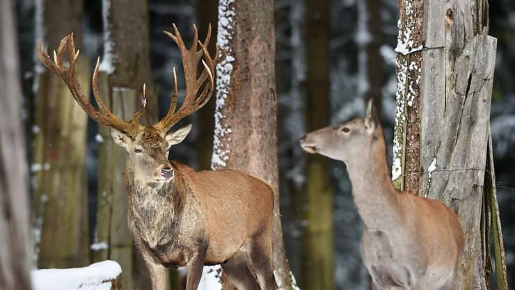 Wegen des vielen Schnees finden die Graubündner Hirsche in höheren Lagen kaum Futter. Der Kanton hat deshalb Notfütterungen angeordnet. (Themenbild)