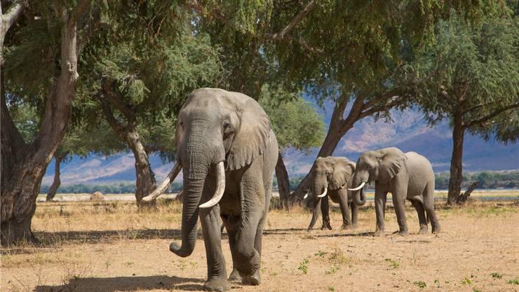 In den Nationalparks von Simbabwe leben Tausende Elefanten – ein Bulle trinkt 150 Liter Wasser pro Tag.