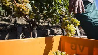 Ab diesem Wochenende beginnt an vielen Orten in der Romandie die Zeit der Weinlese. (Archivbild)
