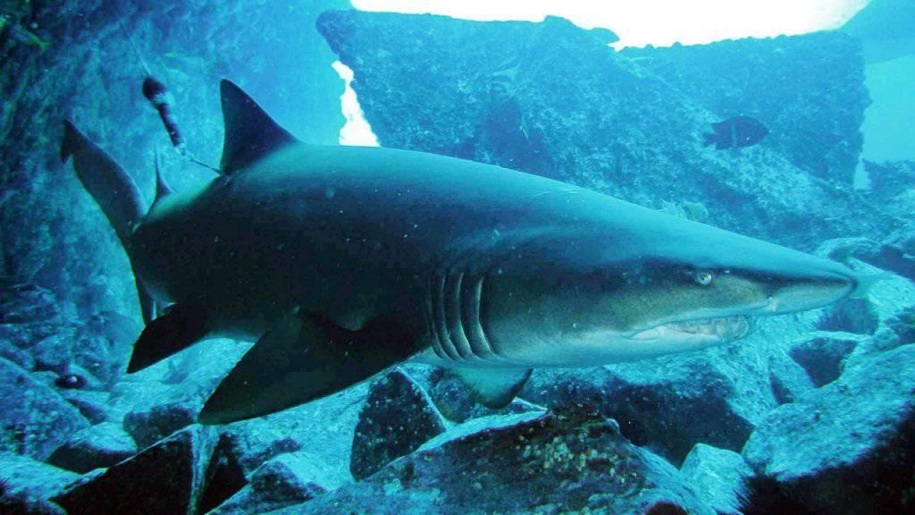 Vor der Küste Australiens kommt es immer wieder zu Angriffen von Haisen auf Surfer und Schwimmer. (Symbolbild)
