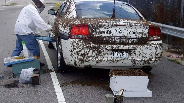 Bienenangriff in den USA: Wanderer stirbt an über tausend Stichen in einem Nationalpark. (Symbolbild)