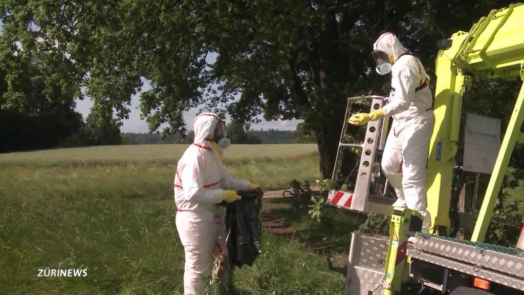 Raupenplage in Lenzburg: Kampfansage dem Schädling