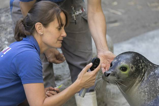 Die Tierärztin kontrolliert das Auge des Seehundes. Dank des Trainings kennt das Tier die Prozedur bereits.