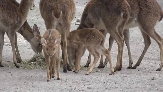 Baby-Leierhirsche: Zaghaftes Gestakse im Zoo Zürich