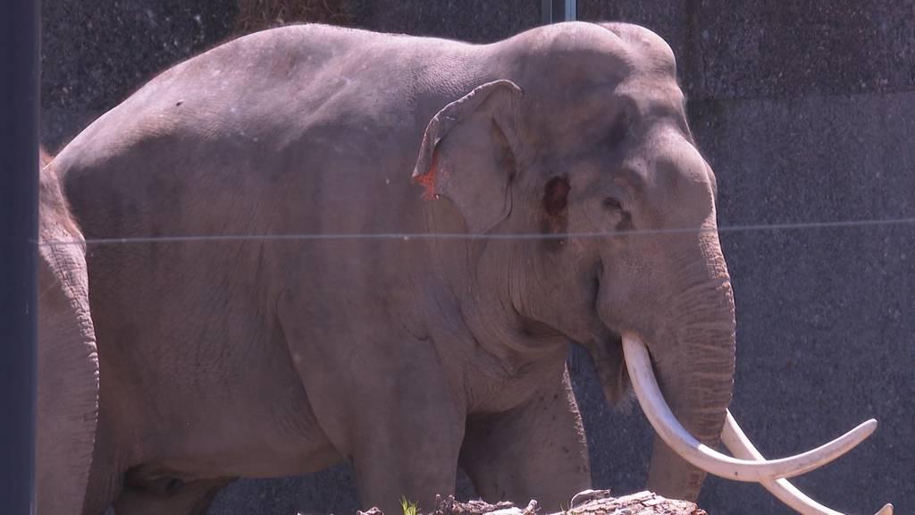 Paarungsprobleme im Kinderzoo: Elefantenbulle erhält Unterstützung