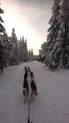 Insgesamt zwölf Siberian Huskys besitzt die Familie Matsch.