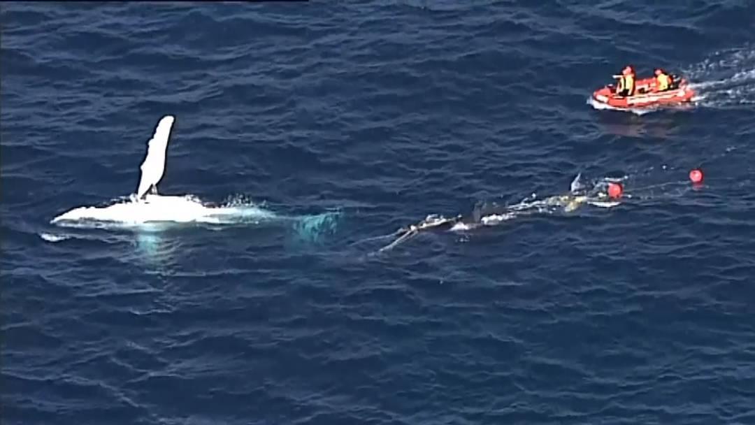 Stundenlange Rettungsaktion: Wal verfängt sich in Netz